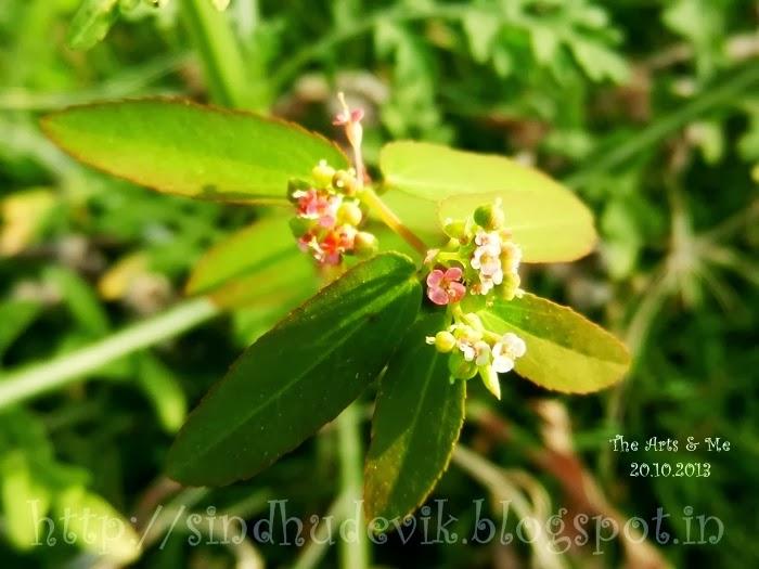 Graceful sandmat or Chamaesyce hypericifolia (Euphorbiaceae)