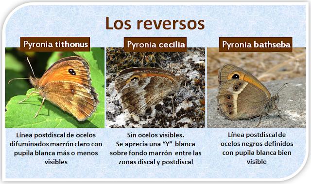 Claves visuales para diferenciar Pyronia tithonus, Pyronia cecilia y Pyronia bathseba por el reverso