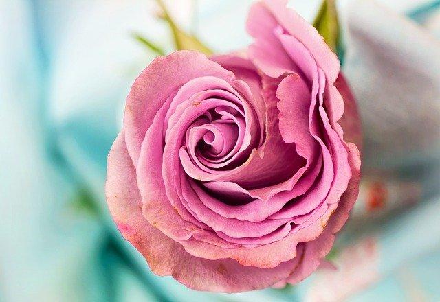 rosa-rosa