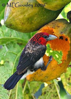 Barbudo pecho pardo Lybius Pogonornis melanopterus