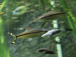 Barbus torpille à ligne rouge - Sahyadria denisonii - Barbus de Denison - Barbus crayon