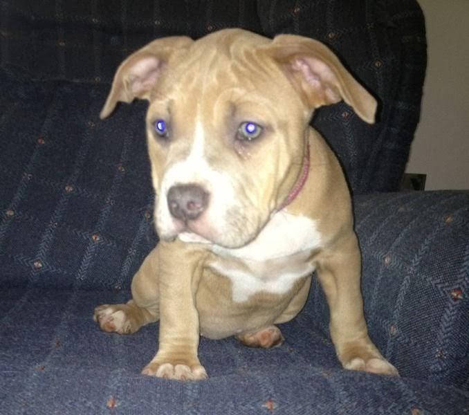 UKC ADBA ABKC registered FEMALE pitbull puppy | Puppies For Sale