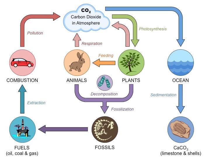 The Carbon Cycle Diagram Gcse Simple Car Wiring Diagrams