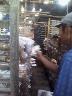 pemanenan jamur tiram bogor