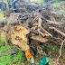 Homem que fazia corte de árvore morre após ficar com o corpo prensado, no Oeste