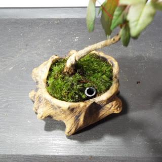 カエデの鉢の苔 浸透桝