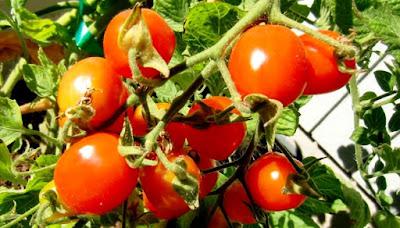 Когда сеять помидоры на рассаду, пикировать и сажать в грунт в 2018 году