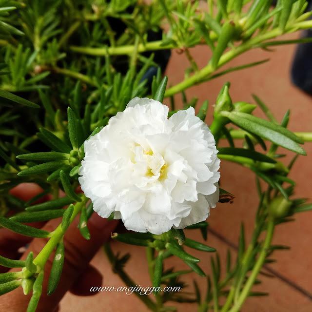 bunga ros jepun putih