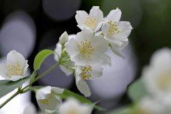 Sweet jasmine  (स्वीट जैस्मिन)