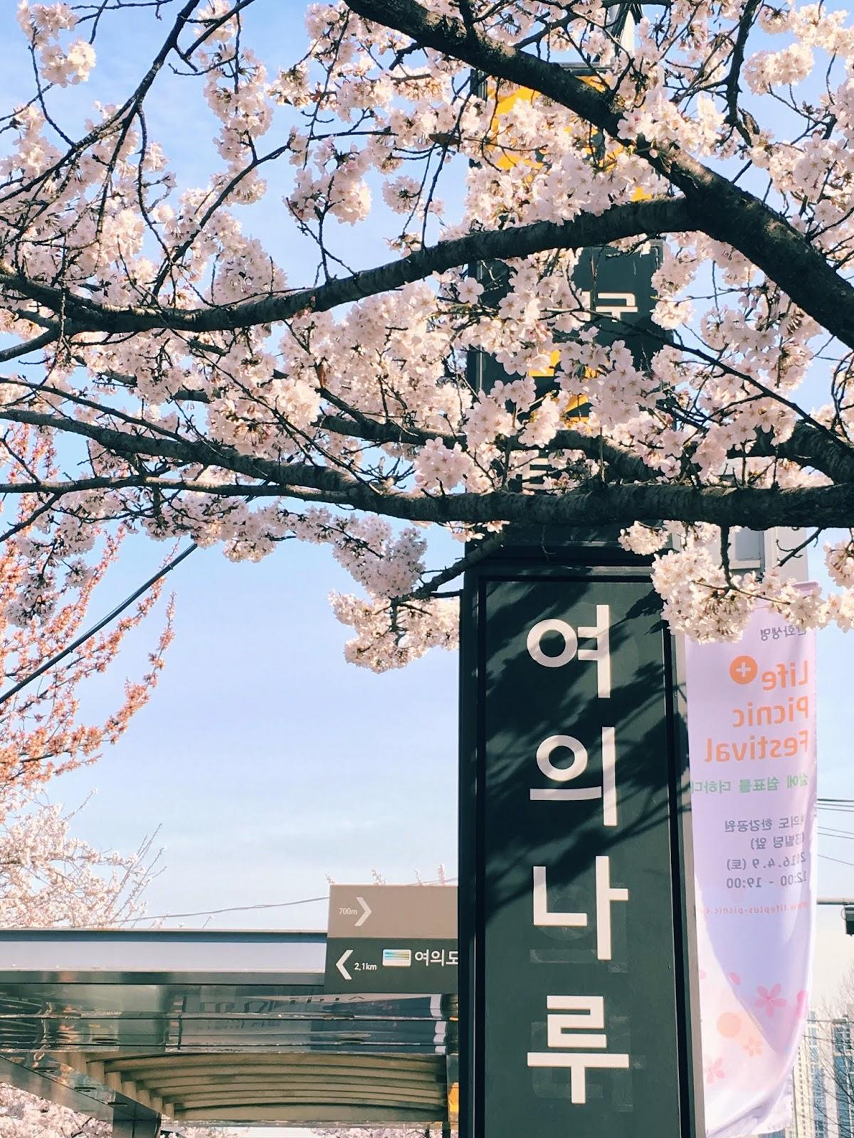 cherry blossom festival in south korea