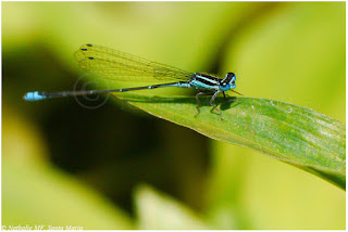 https://ailesetvie.blogspot.com/search/label/Agrion%20azur%C3%A9%20-%20Azuragrion%20kauderni