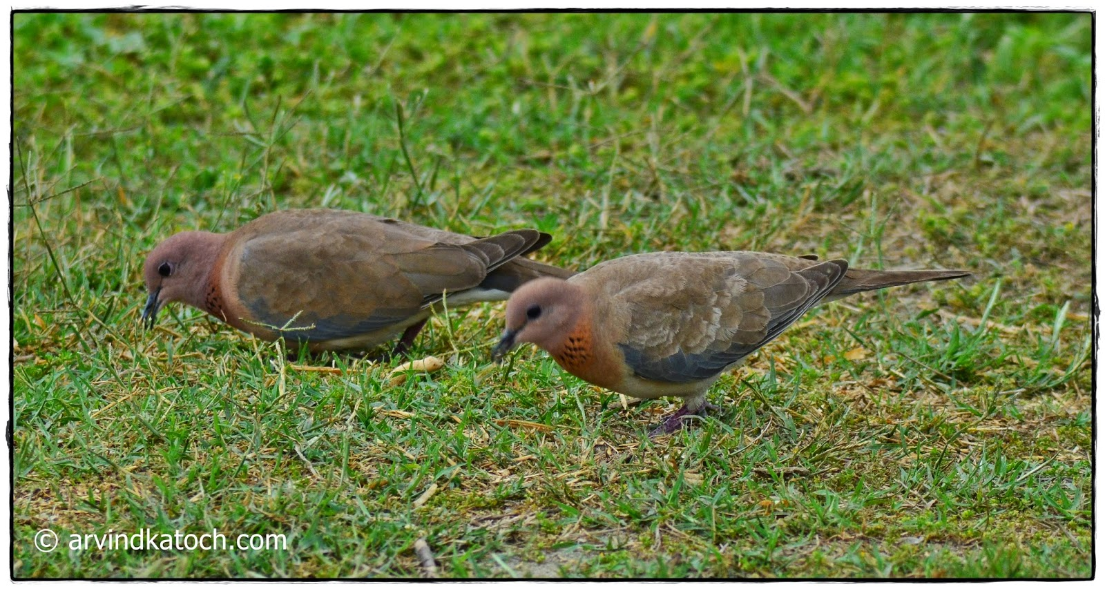 pair, Laughing dove,