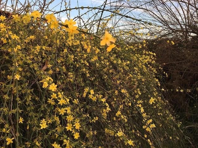 Jenis bunga Melati Musim Dingin