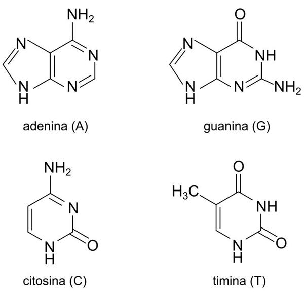 fórmulas estruturais de bases nitrogenadas que compõem o DNA