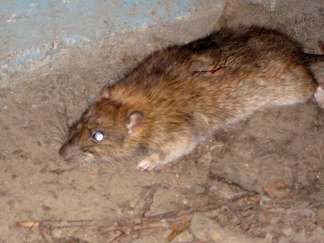 Башкирию атакуют крысы