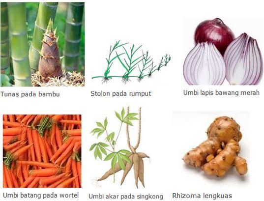 Pengertian dan Macam-macam Cara Perkembangbiakan Tumbuhan Secara Vegetatif Alami dan Buatan beserta Contohnya Lengkap