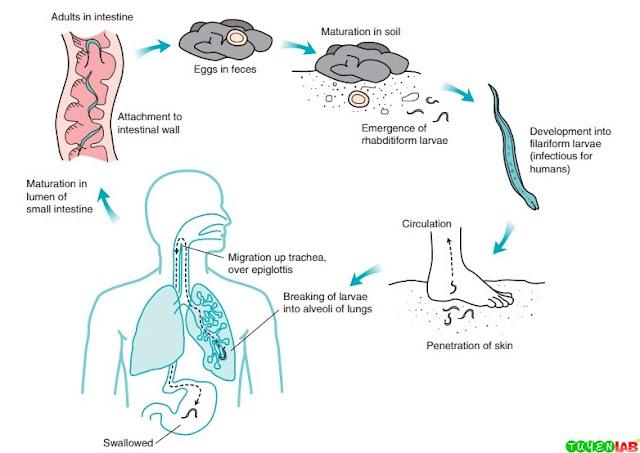 Life cycle of hookworm.