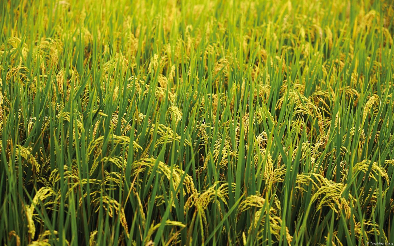 Hello: all kharif crops botanical name