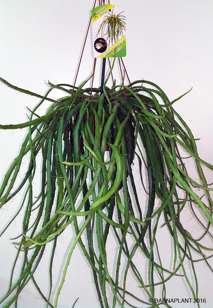 Barnaplant galer as rhipsalis y plantas crasas o - Plantas crasas colgantes ...