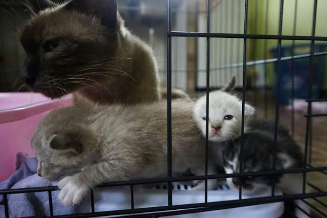 siamneese cat, kucing siam,kittens