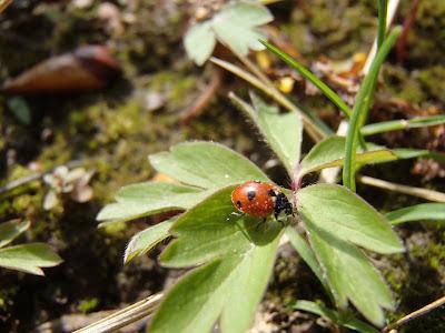 grzyby 2017, grzyby wiosenne, grzyby w kwietniu, Dumontinia tuberosa twardnica bulwiasta,