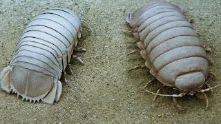 Bathynomus | Giant Isopod