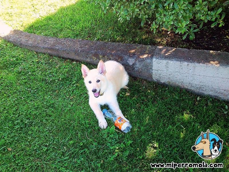 Cachorro de Can de Palleiro jugando con una botella