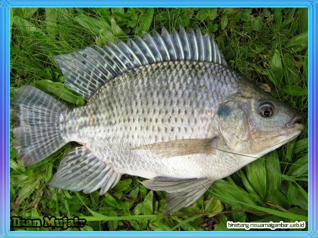 gambar ikan mujaer