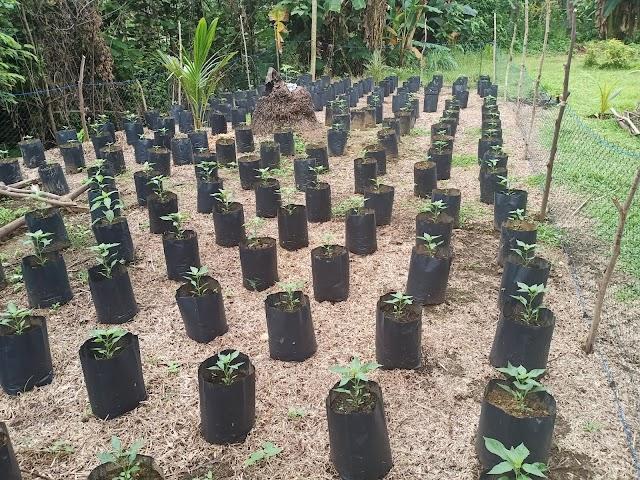 Warga Dapat Tanaman Gratis Dari Pemerintah Gampong Untuk  Pemenuhan Gizi