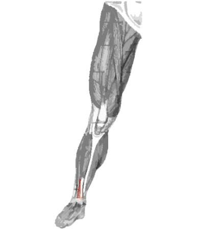 Músculo extensor largo de los dedos remarcado