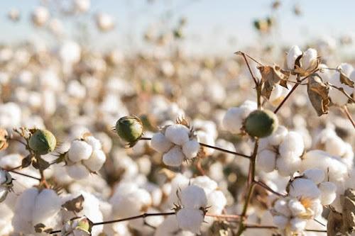 Sợi bông sản xuất vải thun cotton 4 chiều
