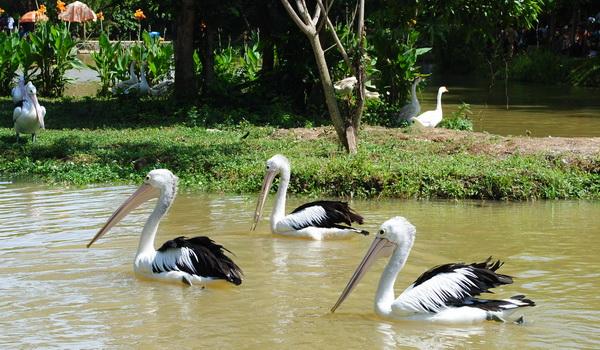 Burung Pelikan Bonbin Mangkang
