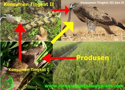 Pengertian Rantai Makanan dan Contoh Rantai Makanan pada Ekosistem Alam dan Buatan