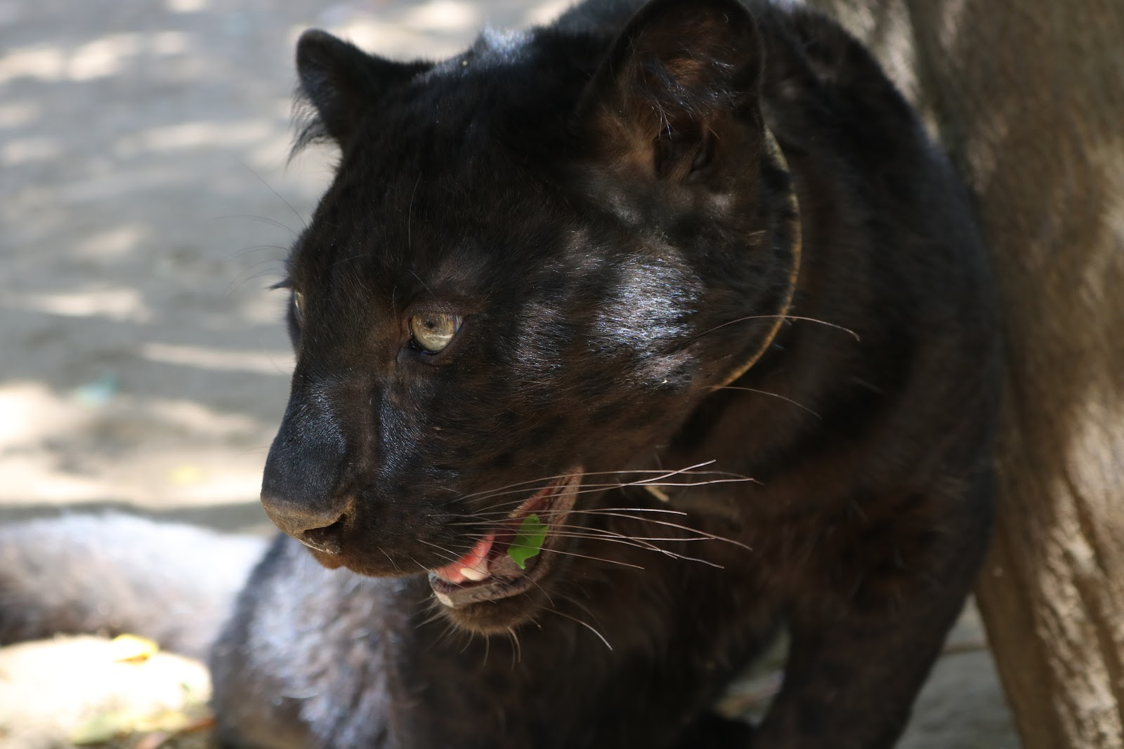 A panther in zoo de Castellar, Spain