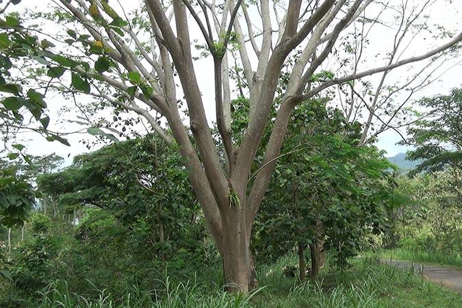 Dlium Elephant ear tree (Enterolobium cyclocarpum)