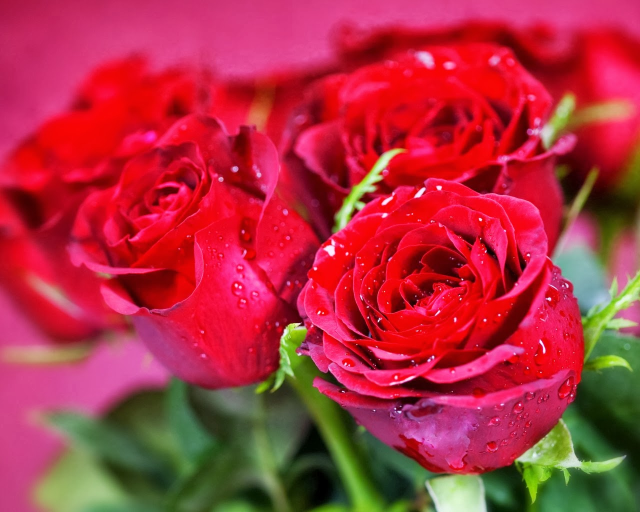 4f77ddbfc صور خلفيات ورد جوري احمر 2019 وابيض طبيعي Beautiful red rose flowers ...