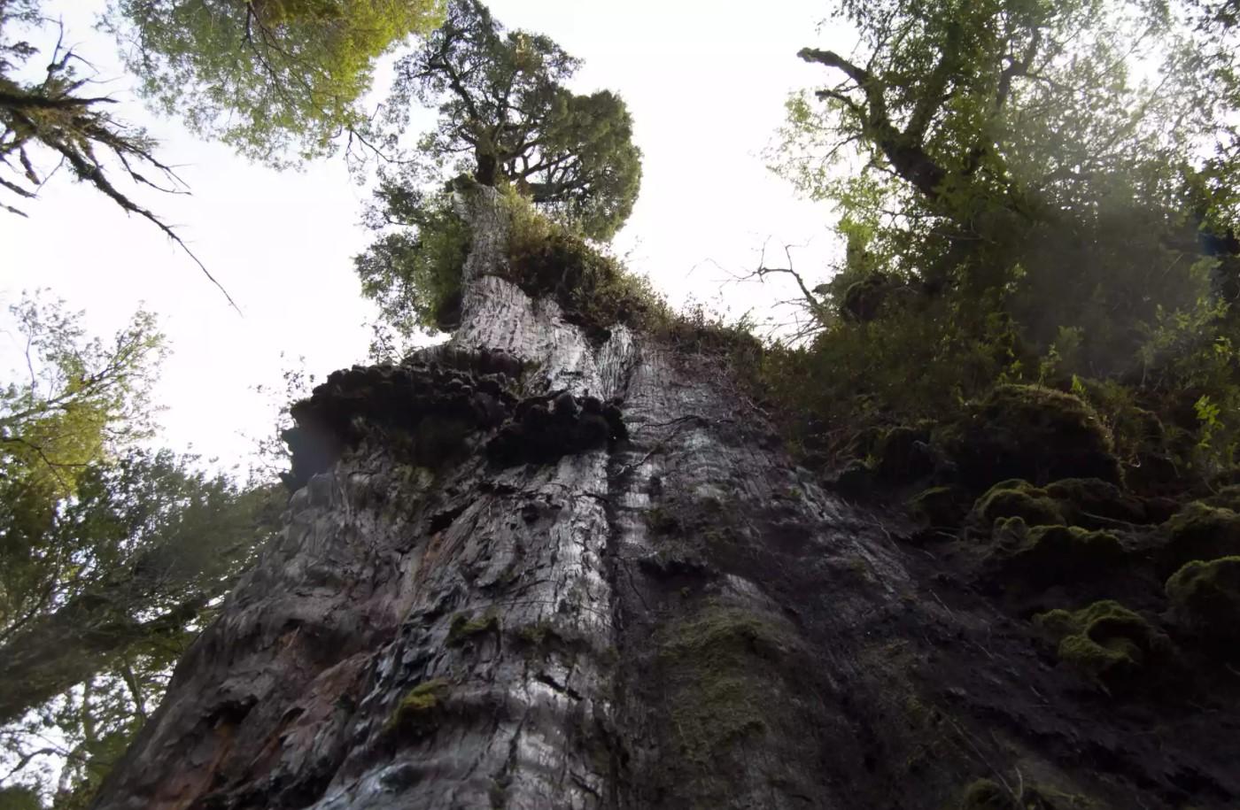 Oldest Living Trees, Alerce