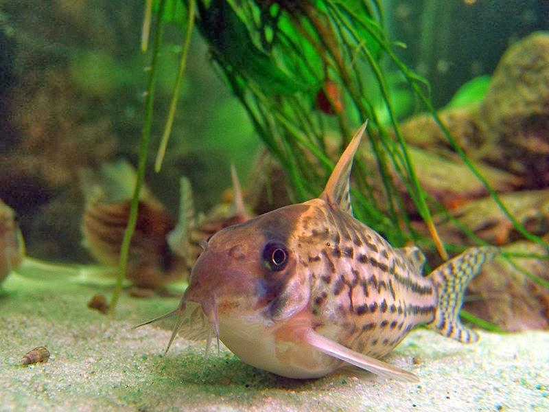 Siluriformes kemikli balık hakkında bilgi