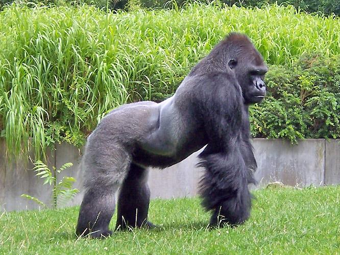 Resultado de imagen para gorila de montaña wallpaper