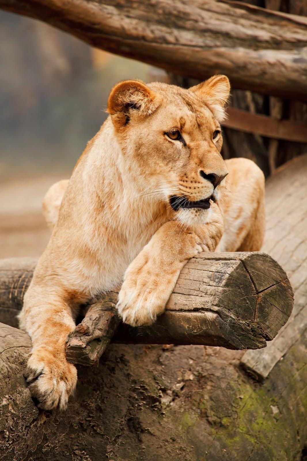 lioness,lion images