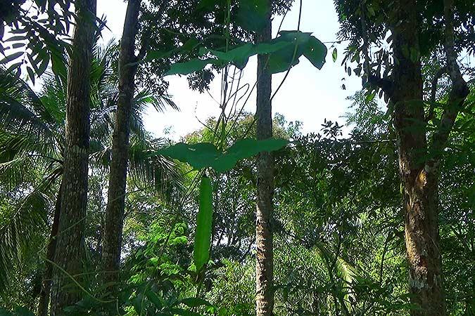Dlium Winged bean (Psophocarpus tetragonolobus)