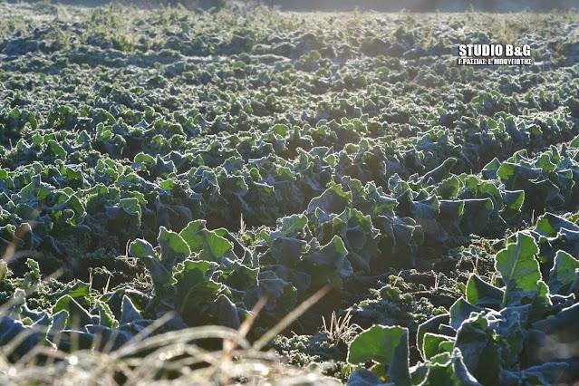 Αγκινάρες και μικρές σαλάτες μετρούν μεγάλες ζημιές στην Αργολίδα από τον παγετό