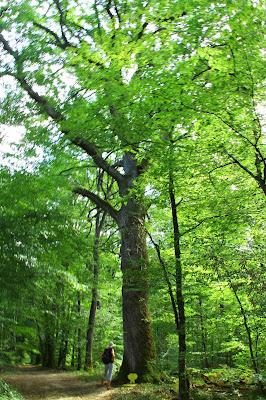 Le Chêne de l'Ermitage