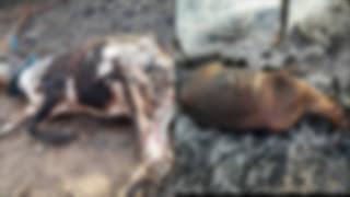 बिजली के तारो में सार्ट सर्किट से पशु और मकान का अनाज, समान जल कर खाक