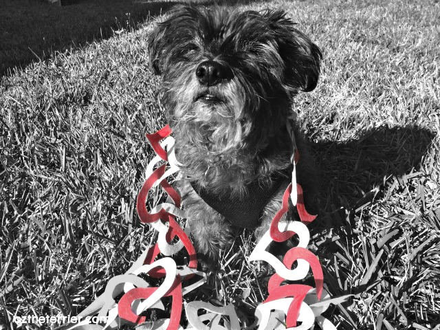 Oz the Terrier wears his heart on his fur for Valentine's Day