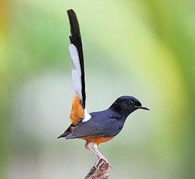 Burung murai jenis burung kicau yang diperlombakan