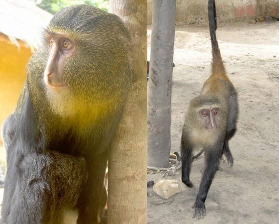 Macaco-Lesula (Cercopithecus lomamiensis)