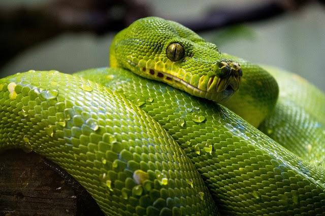 Big Cobra Snake HD Wallpaper Download