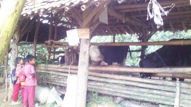 hewan qurban sapi dompet dhuafa