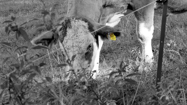 Kuh mit Marke